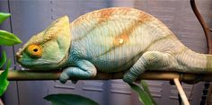 Parson's chameleon native to Madagascar. It's the largest of the chameleons species.