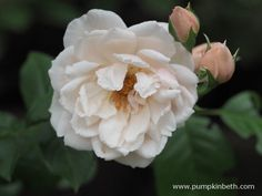 Delightfully Fragrant Roses to Plant this Winter - Pumpkin Beth