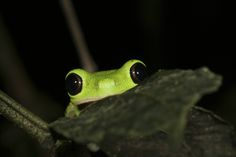 frogs   Lemur leaf frog: Frogs are threatened by a fungus that can kill up to ...