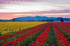 SKAGIT VALLEY TULIP FIELDS, USA The fields, located in Washington state, have been hosting the Skagit Valley Tulip Festival every year in April since 1984. Designed as a driving tour, the festival known for showcasing millions of blooming tulips.