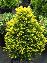 Mail Order Nursery of Dwarf and Miniature Conifers, Japanese Maples, Bonsai, and Fairy Garden Plants. Visitors welcome by appointment, call ahead (360) 425-0541