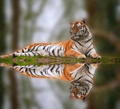 Tiger and reflection, Selina's preserve, the Catitat