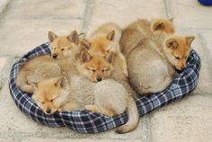 Finnish Spitz pups, they look like foxes