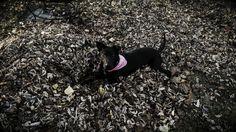 Boston Terrier, Dogs, Animals, Animales, Animaux, Boston Terriers, Doggies, Animal, Animais