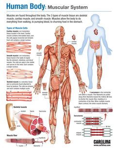 Infographic - Human Body: Muscular System You are in the right place about Human Body System worksheets Here we offer you the most beautiful pictures about the Human Body System art you are looking fo Muscular System Anatomy, Human Muscular System, Muscular System Functions, Basic Anatomy And Physiology, Human Body Facts, Human Body Anatomy, Skeletal Muscle Anatomy, Human Body Muscles, Human Body Systems