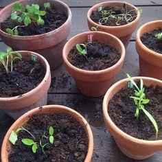 Så blev det tid til at plante de små krydderurter og grøntsager udenfor - tak til svigermor for at forspire dem til os.   #krydderurter #grøntsager #grønt #urtepotter #forspiring #spirer #fotosyntese #altanliv #planter #håberjegkanholdelividem #grønnefingre #udendørsinteriør #haveliv #greenliving #herbs #vegtables #garden #balconygarden #balconylife #plants #greenfingers #outdoorinterior #gardenlife