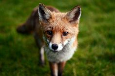 I want a fox sooooo bad!Iain Challis was shortlisted for this close-up photograph of a young fox. - British Mammal Photographer of the Year 2014 Photography Contests, Wildlife Photography, Animals Beautiful, Cute Animals, Young Fox, Different Types Of Animals, Fox Pictures, Photo To Art, Fox Art