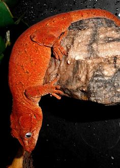 Holy sweet jesus! Thats so much red on a gargoyle gecko!