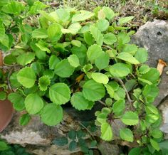 Swedish Ivy Care: How To Grow A Swedish Ivy Houseplant Growing Swedish Ivy Plants: Learn About The C Ivy Plants, Houseplants, Inside Plants, Hanging Plants Outdoor, Indoor Plants, Potted Plants, Toxic Plants For Cats, House Plant Care, Gardens