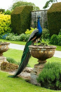 "Pavão- nordicsublime: "" The Sudeley Pheasantry "" Proud as a peacock Pretty Birds, Beautiful Birds, Animals Beautiful, Cute Animals, Animals Amazing, Beautiful Pictures, Exotic Birds, Colorful Birds, All Birds"