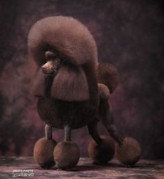 Brown Poodle in show coat.