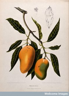 Mango (Mangifera indica L.): fruiting branch with numbered s