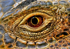 Another cool reptile eye.