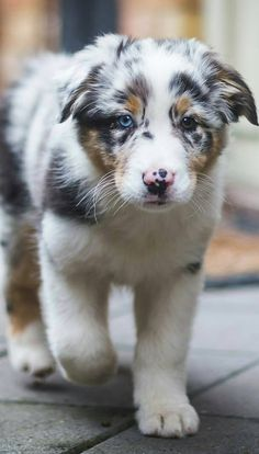 They make great pets! They make great pets! B… – Australian Shepherd Puppy. They make great pets! Aussie Puppies, Cute Dogs And Puppies, Doggies, Corgi Puppies, Australian Puppies, Pomeranian Puppy, Husky Puppy, Cute Baby Animals, Animals And Pets