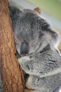 Sleepy koala, Lone Pine Koala Sanctuary - Brisbane, Australia - Best place in the world to cuddle a koala!