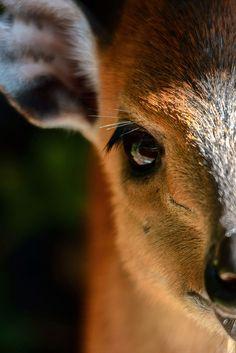 burning-soul:  Deer. by LisaDiazPhotos on Flickr.