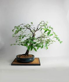 """Korean Hornbeam Bonsai tree""""Summer'16 Exotics Collection"""" by LiveBonsaiTree by LiveBonsaiTree on Etsy"""