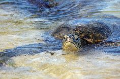 Green Sea Turtles - Seagrass consumed by green turtles is quickly digested and becomes available as recycled nutrients to the many species of plants and animals that live in the sea grass ecosystem. Seagrass beds also function as nurseries for several species of invertebrates and fish, many of which are of considerable value to commercial fisheries and therefore important to human food security.