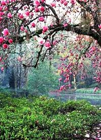 My favorite type of tree.. some day I will have a Japanese Magnolia tree!