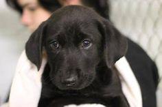 11/24/14- Humane Society of NETX Hopefuls- Longview, TX November 14 · LITTER of 7- Bassett/Lab-x ID#: A24322885 Breed: Basset/Lab-x Gender: F Age: 8 weeks Potential EU DATE: Immediate (Owner Surrender)- Unwanted —