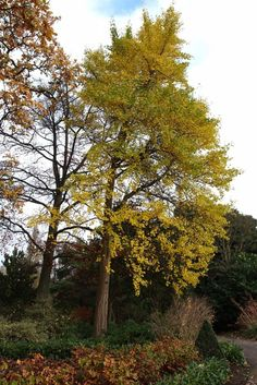 Ginkgo biloba, pictured at the Royal Botanic Gardens, Kew at the end of November. Stuff To Do, Things To Do, Autumn Garden, Botanical Gardens, The Good Place, Seeds, November, In This Moment, Amazing