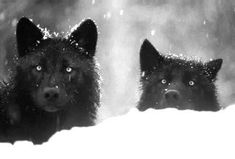 snow animals Black and White wolf eyes white black animal wolves Wolf Spirit, Spirit Animal, Wolf Pictures, Animal Pictures, Neko, Facts About Wolves, Viking Power, Yoshi, Amazing Animals