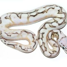 Calico Fire Bumble Bee - Ball Python Multi Gene