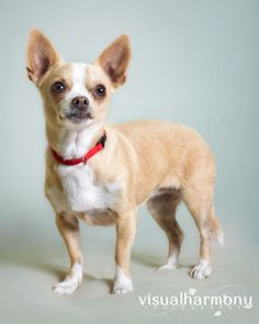 Fergie is a DARLING little 8 year old Chihuahua Princess who was left at the county shelter along with her three sisters. We could not bear to leave them there subject to euthanasia, so we took them all! Fergie is a quiet little girl and loves to...