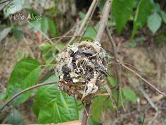 Ninho da morte      Nest of Death