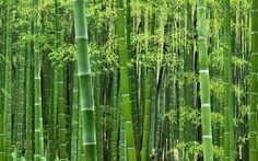 Workshop Bamboe snoeien. Zaterdag 17 oktober geeft kweker Erwin Kooijman weer de jaarlijkse snoeiworkshop. Van 10.30 tot 14.00 leert u alle ins en outs over bamboe en gaat u bovendien samen aan de slag in de bamboetuin.