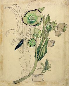 Ideas For Art Nouveau Floral Illustration Charles Rennie Mackintosh Charles Rennie Mackintosh, Botanical Drawings, Botanical Prints, Flower Drawings, Drawing Flowers, Art And Illustration, Sibylla Merian, Jugendstil Design, Illustration Botanique