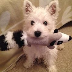 Like, ever. | 29 Pictures That Prove You Should Never Own A Westie