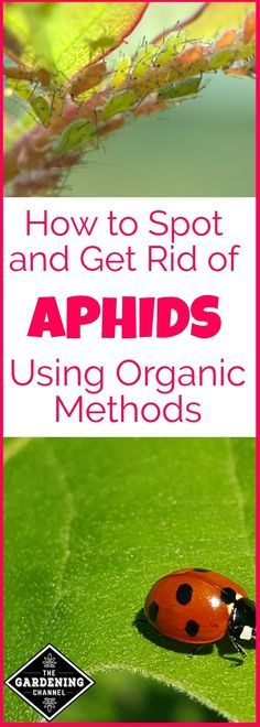 Learn how to spot and get rid of aphids using organic methods before they destroy your garden.