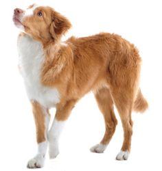 Nova Scotia Duck Tolling Retriever, Toller, Yarmouth Toller, Little River Duck Dog, Dier, Huisdier, Hond, Rashond, Ras