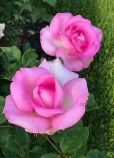 Fertilizer For Organic Gardening Lavender Roses, Pink Roses, Pink Flowers, Beautiful Roses, Beautiful Gardens, Beautiful Flowers, Flowery Wallpaper, Damask Rose, Cabbage Roses