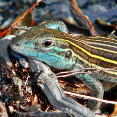 Six-lined Racerunner by bob in swamp, via Flickr