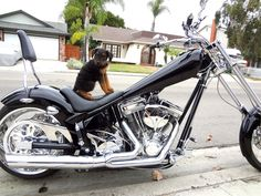 Oorang Airedale Terrier puppy~