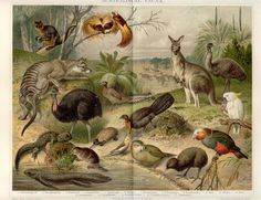AUSTRALIA FAUNA, AUSTRALISCHE FAUNA,KANGAROO, EMU, KIWI,BIRD OF PARADISE
