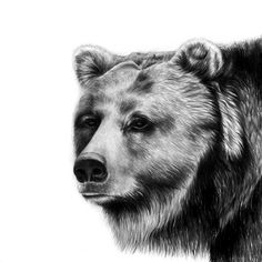 Bear ~ Photorealistic Pencil Portraits of Animals - My Modern Metropolis