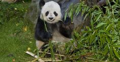 With summer nearly over, we find our boy Gao Gao spending his days eating his favorite variety of bamboo, Bambusa beechyana.