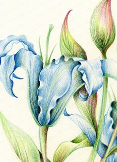Diana arias colored pencil colored pencil artwork pencil drawings of Pencil Drawings Of Flowers, Oil Pastel Drawings, Pencil Art Drawings, Colorful Drawings, Art Drawings Sketches, Horse Drawings, Drawing Art, Pencil Colour Painting, Color Pencil Sketch