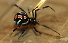 An online resource devoted to North American insects, spiders and their kin, offering identification, images, and information. Female Black Widow, Black Widow Spider, Kali Goddess, Natural Selection, Reptiles And Amphibians, Natural Wonders, Creepy, Nature, Spiders