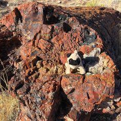 Mr. Pug visits the Petrified Forest National Park in Arizona. 🌲  #petrified #petrifiednationalforest #nationalforest #travel #mrpug #pugs #rocks #petrifiedwood #petrifiedforest #petrifiedforestnationalpark #arizona #roadtrip http://ift.tt/1KNvezu
