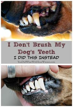 I Don't Brush My Dog's Teeth. I Did This Instead - a home dog teeth cleaning routine plus anesthesia-free dog dental cleaning. Dog Health Tips, Pet Health, Dental Health, Oral Health, Dog Care Tips, Pet Care, Dog Dental Care, Puppy Care, Golden Retriever