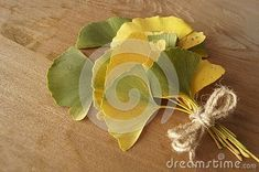Leaves Of Ginkgo Biloba, Ginkgo, Maidenhair Tree Stock Photo - Image of yellow, cures: 130117868