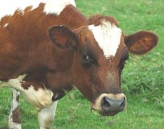 Picture showing Ayrshire  Cow