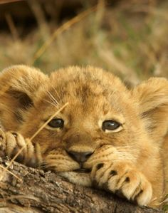 What a very cute baby lion cute and cuddly cute baby animals Cute Baby Animals, Animals And Pets, Funny Animals, Big Animals, Animals Images, Funny Cats, Beautiful Cats, Animals Beautiful, Beautiful Pictures