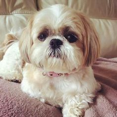 Shitzu Puppies, Puppies And Kitties, Cute Puppies, Cute Dogs, Doggies, Shih Tzus, Shih Tzu Puppy, Cutest Small Dog Breeds, Baby Dogs