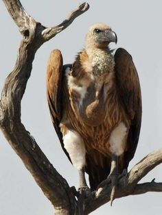 White-backed Vulture - Gyps africanus by Scoth Macskill.
