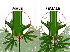How to Identify Female and Male Marijuana Plants: 9 Steps